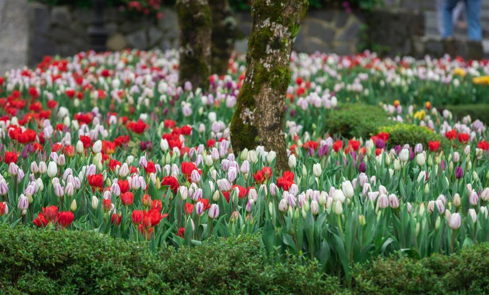 """Phiêu bồng xứ hoa Bà Nà, """"sống ảo"""" cùng 1,5 triệu bông tulip và hơn thế nữa  - Ảnh 3"""