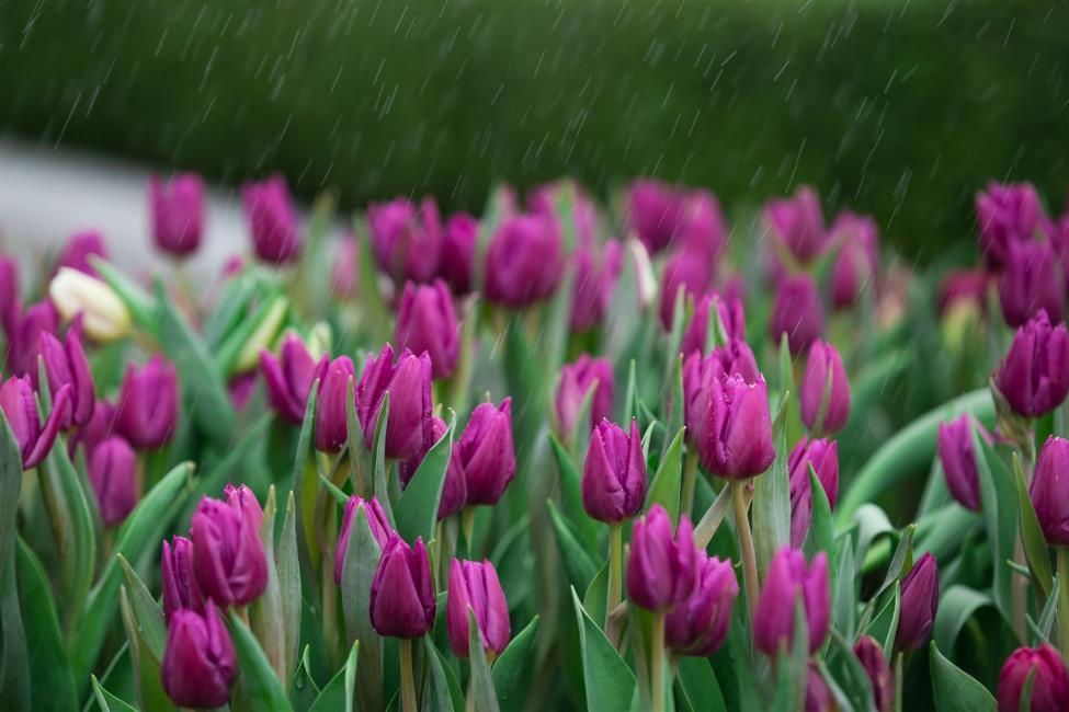 """Phiêu bồng xứ hoa Bà Nà, """"sống ảo"""" cùng 1,5 triệu bông tulip và hơn thế nữa  - Ảnh 8"""