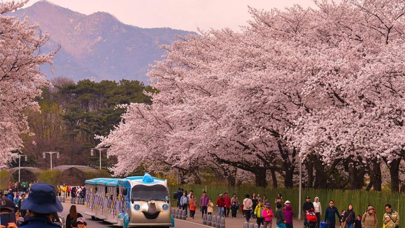 Annyeong ha, Seoul – Hàn Quốc mùa hoa anh đào nở  - Ảnh 3