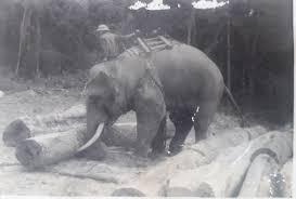 """Chuyện về chú voi Bạc Nòi được phong hàm """"thiếu úy"""" và án """"tử"""" bất đắc dĩ - Ảnh 1"""