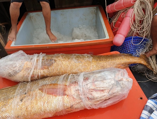 Cà Mau: Ngư dân bắt được cặp cá sủ vàng quý hiếm nặng 70kg - Ảnh 1
