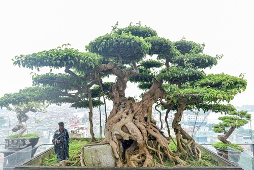 Chiêm ngưỡng cây sanh cổ trăm tuổi phong hóa cùng thời gian, trị giá ngang căn chung cư của đại gia Hà Nội - Ảnh 1