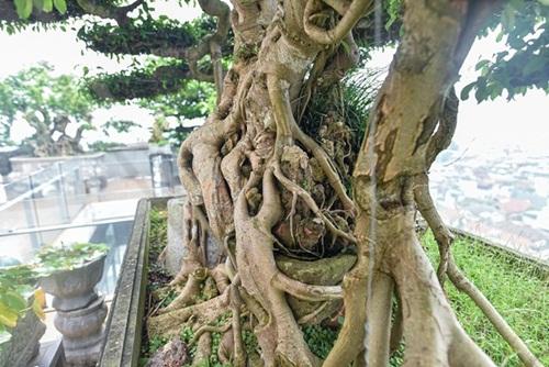 Chiêm ngưỡng cây sanh cổ trăm tuổi phong hóa cùng thời gian, trị giá ngang căn chung cư của đại gia Hà Nội - Ảnh 4