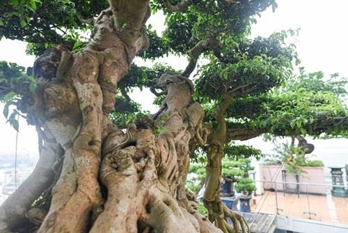 Chiêm ngưỡng cây sanh cổ trăm tuổi phong hóa cùng thời gian, trị giá ngang căn chung cư của đại gia Hà Nội - Ảnh 5