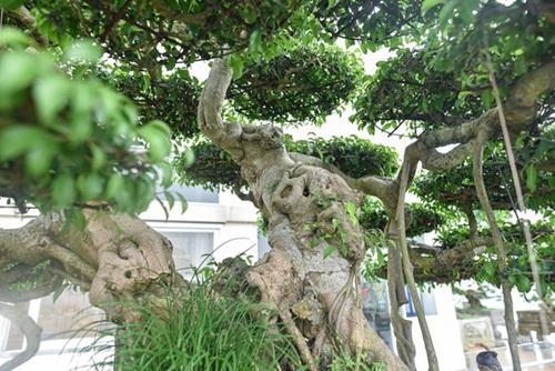 Chiêm ngưỡng cây sanh cổ trăm tuổi phong hóa cùng thời gian, trị giá ngang căn chung cư của đại gia Hà Nội - Ảnh 6