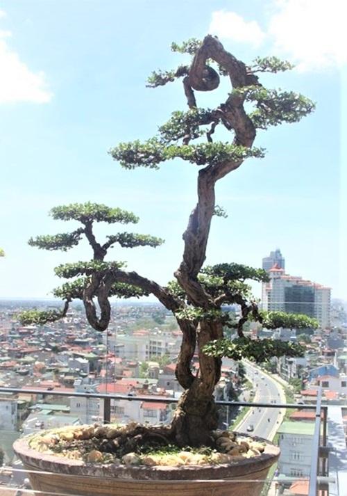 Chiêm ngưỡng cây sanh cổ trăm tuổi phong hóa cùng thời gian, trị giá ngang căn chung cư của đại gia Hà Nội - Ảnh 7