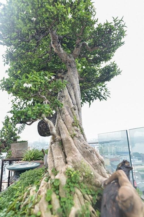 Chiêm ngưỡng cây sanh cổ trăm tuổi phong hóa cùng thời gian, trị giá ngang căn chung cư của đại gia Hà Nội - Ảnh 9