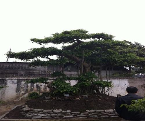 """Siêu cây """"Chiến thắng Bạch Đằng"""" được định giá 3 triệu đô của đại gia Hải Phòng khiến nhiều người choáng váng - Ảnh 6"""