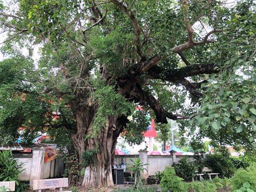 """Độc đáo siêu cây """"Cổ Đề Duy Bảo"""" trăm tuổi, ngay lần đầu ra mắt đã khiến giới chơi cây mê mẩn - Ảnh 7"""