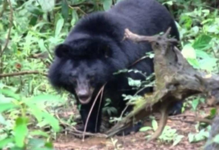 Quảng Nam: Đi thăm vườn sâm, người đàn ông bị gấu rừng tấn công - Ảnh 1