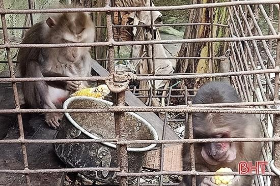 Thả 2 cá thể khỉ đuôi lợn và mặt đỏ quý hiếm về môi trường tự nhiên - Ảnh 1