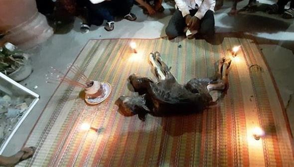 Bò mẹ đẻ ra bê 2 đầu, chủ mang vào chùa, dựng đèn nhang để nhiều người cúng bái - Ảnh 1