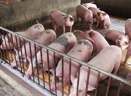 Thịt lợn hơi vụt tăng trở lại, có nơi vượt qua ngưỡng 100.000 đồng/kg - Ảnh 1