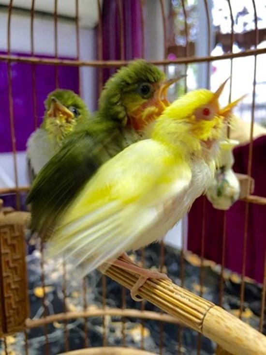 """Cận cảnh đàn chim """"quý tộc"""" đột biến gen siêu quý hiếm trị giá 10 tỷ: Ở điều hòa, có """"bảo mẫu"""" chăm sóc - Ảnh 3"""