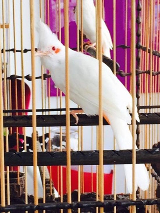 """Cận cảnh đàn chim """"quý tộc"""" đột biến gen siêu quý hiếm trị giá 10 tỷ: Ở điều hòa, có """"bảo mẫu"""" chăm sóc - Ảnh 5"""