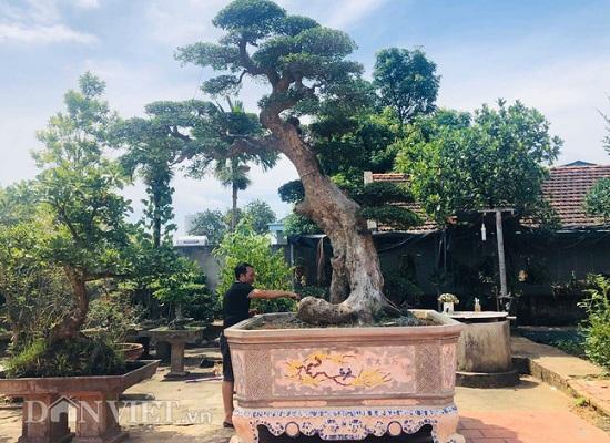 Cận cảnh cây duối cổ dáng Lão mai 400 tuổi giá tiền tỷ của ông thợ mộc ở Phú Thọ - Ảnh 1