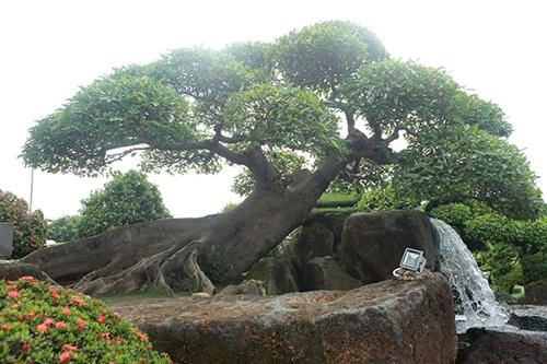 """Choáng ngợp với cây sung """"Long mã hồi đầu"""" tiền tỷ nằm trên đỉnh núi đá quý nhân tạo của đại gia Thái Nguyên - Ảnh 2"""