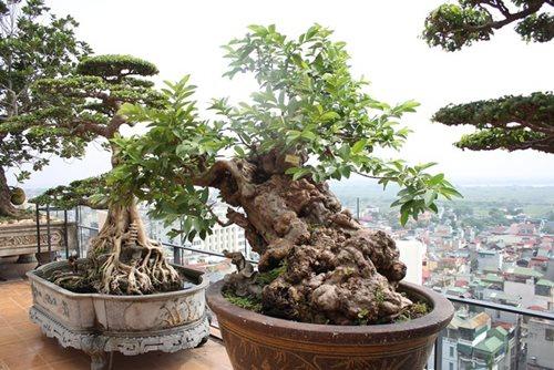 Chiêm ngưỡng cây ổi bonsai tiền tỷ thế độc lạ khiến nhiều người mê mẩn của vị đại gia ngành nhựa - Ảnh 1