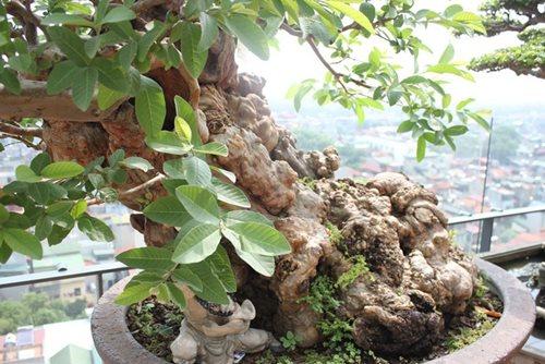 Chiêm ngưỡng cây ổi bonsai tiền tỷ thế độc lạ khiến nhiều người mê mẩn của vị đại gia ngành nhựa - Ảnh 2