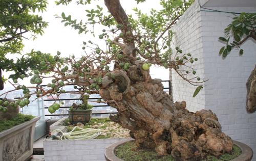 Chiêm ngưỡng cây ổi bonsai tiền tỷ thế độc lạ khiến nhiều người mê mẩn của vị đại gia ngành nhựa - Ảnh 4