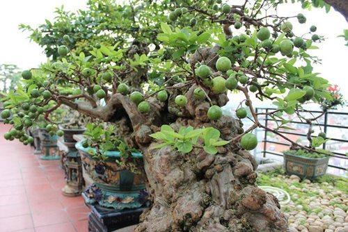 Chiêm ngưỡng cây ổi bonsai tiền tỷ thế độc lạ khiến nhiều người mê mẩn của vị đại gia ngành nhựa - Ảnh 7