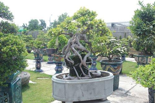 Mục sở thị khu vườn gần 1.000 cây cảnh bonsai hiếm có khó tìm của đại gia Hà thành, giá trị lên đến vài chục tỷ đồng - Ảnh 4