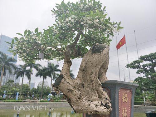Mục sở thị khu vườn gần 1.000 cây cảnh bonsai hiếm có khó tìm của đại gia Hà thành, giá trị lên đến vài chục tỷ đồng - Ảnh 5