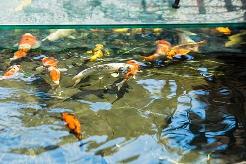 Chiêm ngưỡng đàn cá koi hàng chục tỷ đồng của đại gia Hà thành: Toàn cực phẩm hiếm có khó tìm, có con tới 120 triệu đồng - Ảnh 1