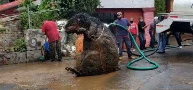 Hoảng hồn phát hiện con chuột to bằng con bò đang ngồi trong đường ống nước ngầm - Ảnh 1