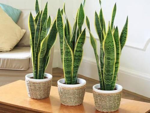 6 loại cây phong thuỷ nên trồng trong phòng ngủ giúp tăng tài vận, vượng khí - Ảnh 2