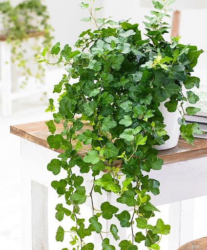 6 loại cây phong thuỷ nên trồng trong phòng ngủ giúp tăng tài vận, vượng khí - Ảnh 6