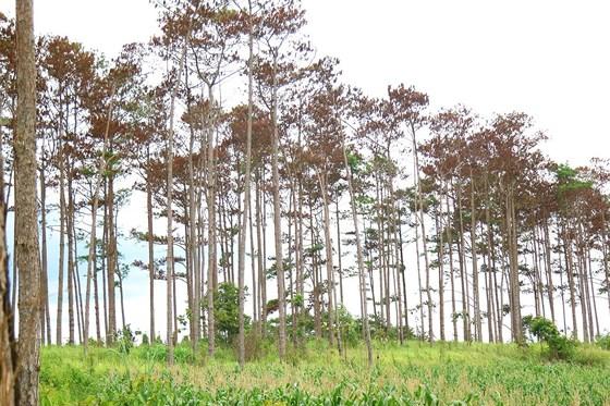 Khởi tố, bắt giam một cán bộ ngân hàng thuê người hủy hoại rừng thông ở Lâm Đồng - Ảnh 1