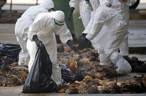 Trung Quốc: Phát hiện ổ dịch cúm gà H5N1 giữa lúc virus corona bùng phát mạnh - Ảnh 1