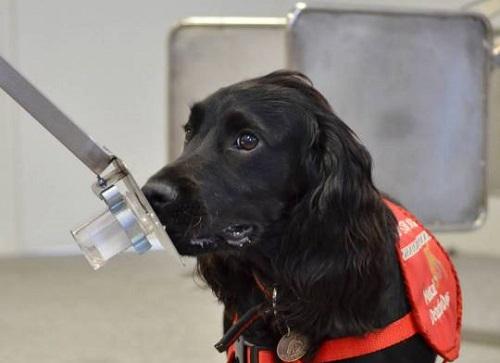 Anh thử nghiệm huấn luyện chó đánh hơi Covid-19 - Ảnh 1