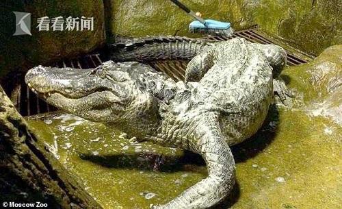 Cá sấu huyền thoại từ thời Thế chiến II qua đời vì tuổi già - Ảnh 1