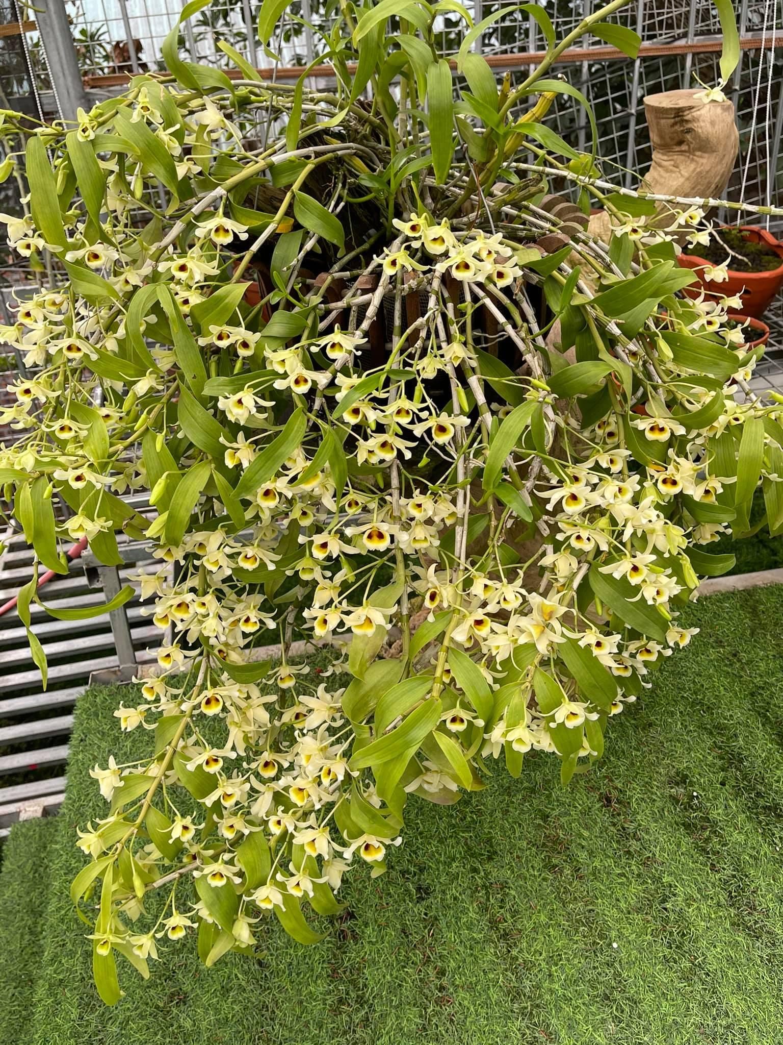 Khu vườn lan bạc tỷ của cô giáo xinh đẹp Phùng Thị Thoa - Ảnh 3