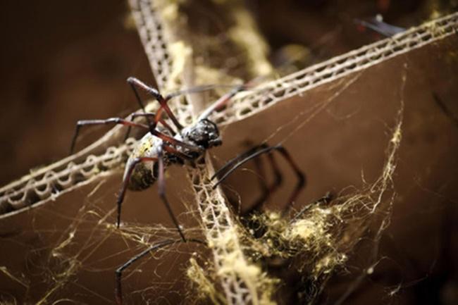 Cận cảnh tấm áo choàng làm từ tơ 1,2 triệu con nhện, độc nhất vô nhị trên thế giới - Ảnh 1