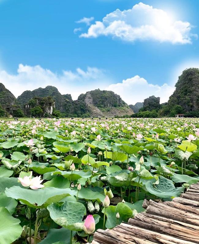 Tư vấn du lịch: Đầm sen Ninh Bình nở đẹp rực rỡ, chị em lên lịch