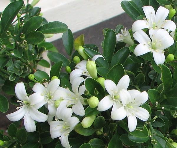 Không cần tinh dầu, ngôi nhà vẫn thơm mát nhờ trồng những cây này - Ảnh 3