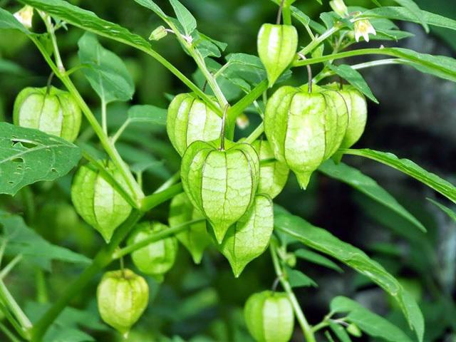 """Trong vườn trồng cây này chứng tỏ nhà có """"thảo dược quý"""", công dụng chữa bách bệnh - Ảnh 4"""