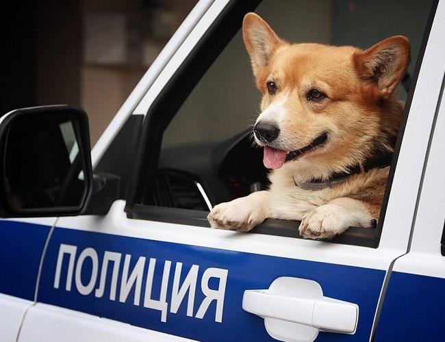 """""""Soái cẩu"""" nghiệp vụ Corgi """"nghỉ hưu"""", ngừng hoạt động trong ngành cảnh sát khiến bao người tiếc nuối - Ảnh 7"""