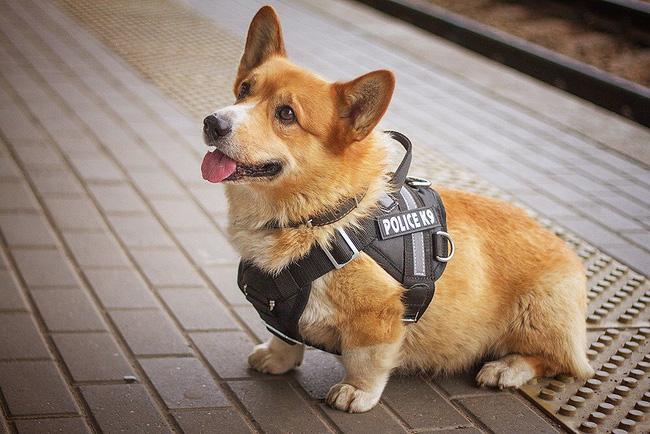 """""""Soái cẩu"""" nghiệp vụ Corgi """"nghỉ hưu"""", ngừng hoạt động trong ngành cảnh sát khiến bao người tiếc nuối - Ảnh 8"""
