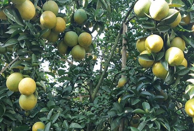 Tậu nhà lầu, xe hơi từ trồng cam, cả làng nhan nhản tỷ phú - Ảnh 10