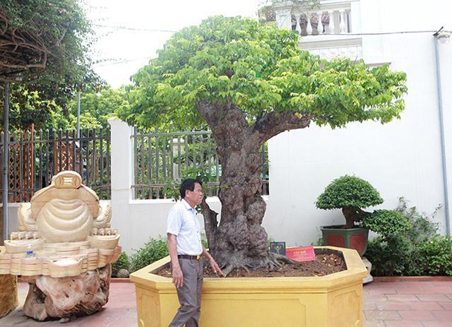 """Ngắm cây khế cổ 3 tỷ đồng của đại gia chơi cây cảnh """"ngông"""" nhất Việt Nam - Ảnh 4"""