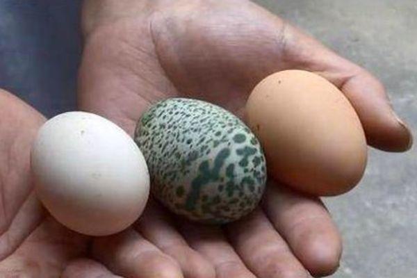 Kỳ lạ: Gà đẻ trứng màu xanh lá cây, có đốm hiếm gặp  - Ảnh 1