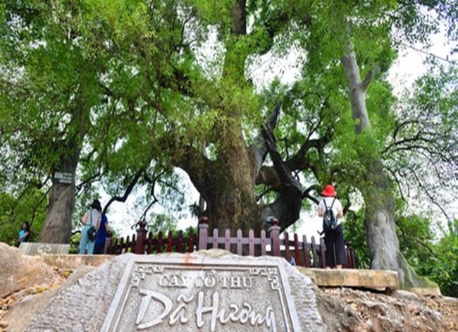 Chiêm ngưỡng cây dã hương nghìn năm tuổi,