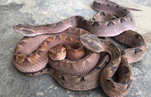 Tin tức đời sống ngày 19/3: Đi cắt sả, 2 người bị rắn chàm quạp suýt mất mạng   - Ảnh 1