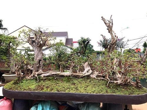"""Những màn sang tay ổi bonsai dáng """"kỳ quái"""" khiến đại gia  chơi cây cảnh mê mẩn - Ảnh 1"""