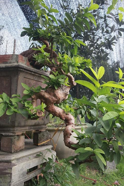 """Những màn sang tay ổi bonsai dáng """"kỳ quái"""" khiến đại gia  chơi cây cảnh mê mẩn - Ảnh 2"""