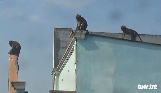 """Vụ đàn khỉ """"đại náo"""" khu dân cư ở TP.HCM: Đã bắt được con đầu tiên  - Ảnh 2"""